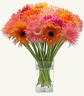 12 Gerberas Bunch